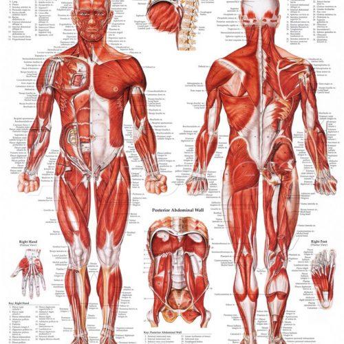 Plansjer og akupunkturmodeller